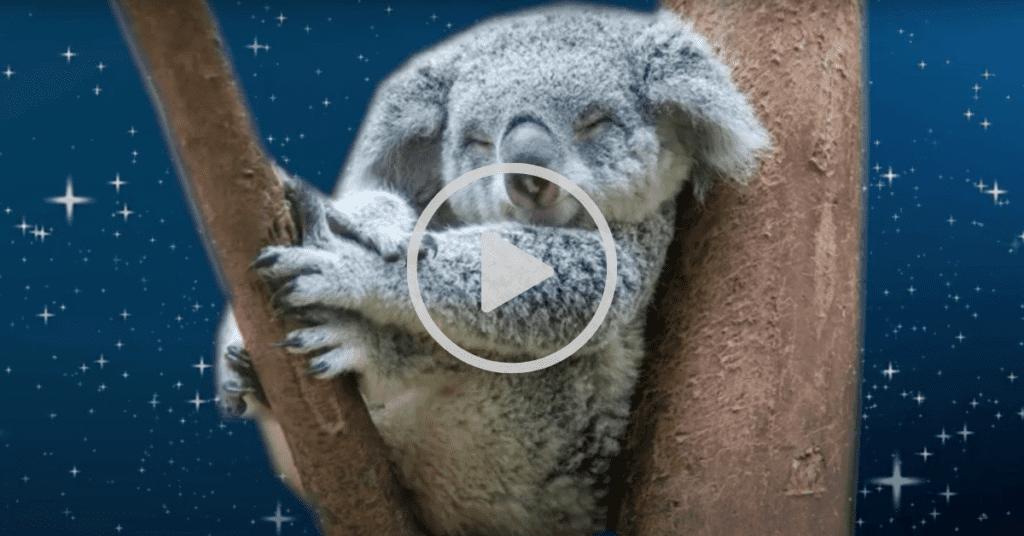 The cuddly koala meditation story